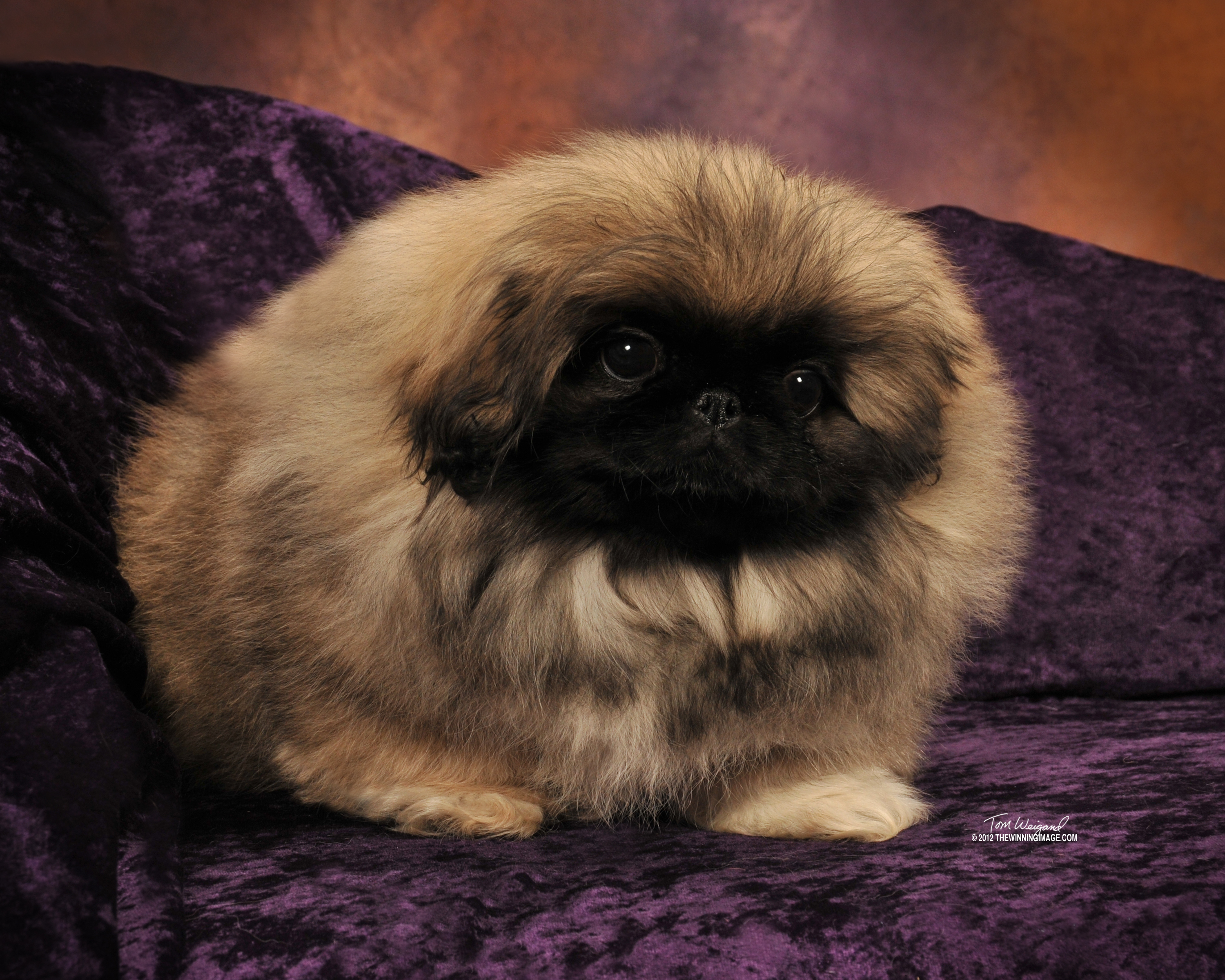 roll about pekingese come see our champions